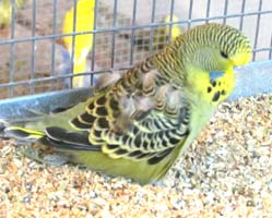 Parrot Beak and Feather Disease in Budgerigars