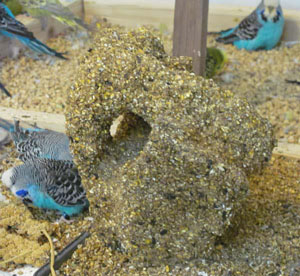 Sources Of Protein For Your Budgies