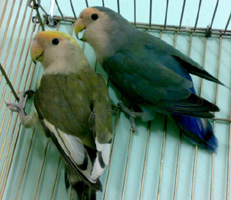 More Lovebirds